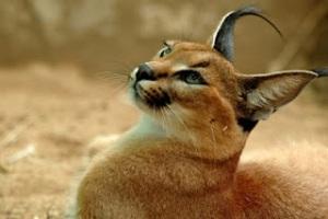 [Image: Caracal+Cat.jpg]